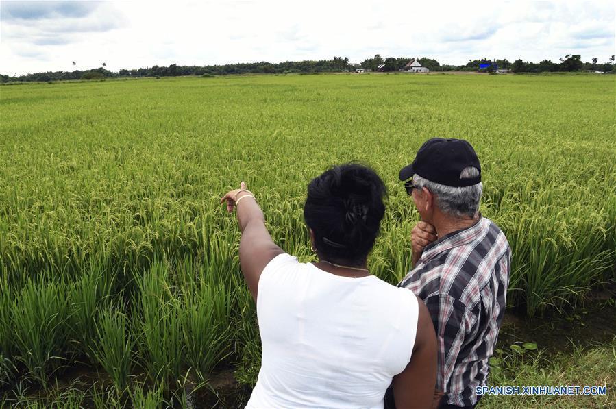 CUBA-PINAR DEL RIO-AGRICULTURE-HARVEST-SERIES