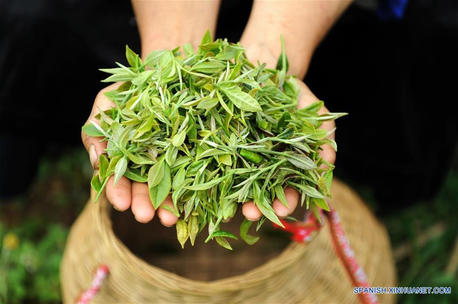 CHINA-GUIZHOU-CULTIVO-TE