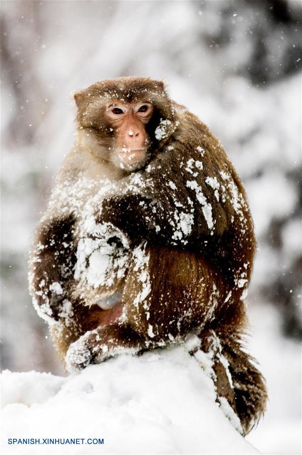 Monos En Parque Xiangshan Cubierto Por Nieve Spanishxinhuanetcom