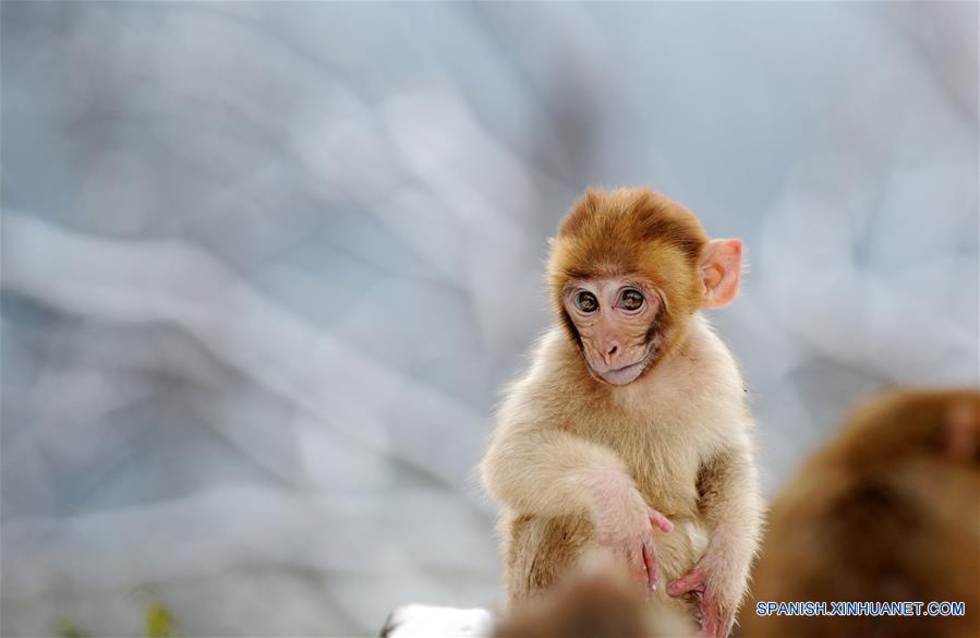 Monos En Medio De La Nieve Spanishxinhuanetcom