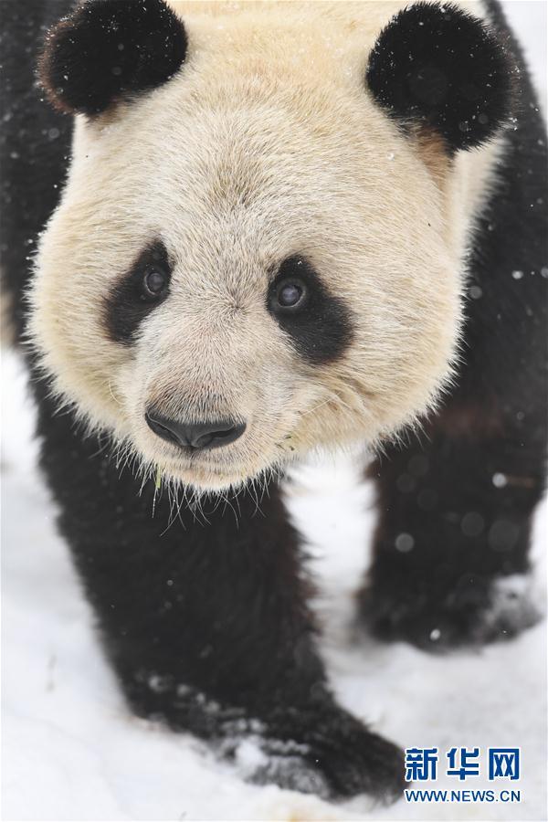 CHINA-ANHUI-NIEVE-PANDA GIGANTE
