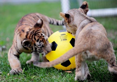 Resultado de imagen de leones jugando