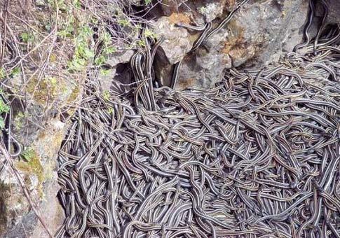 Plaga de serpientes en las gabias
