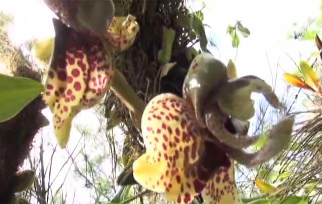 Crecen en Oaxaca 700 especies de orquídeas