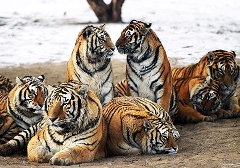 Fotos de tigres siberianos 71