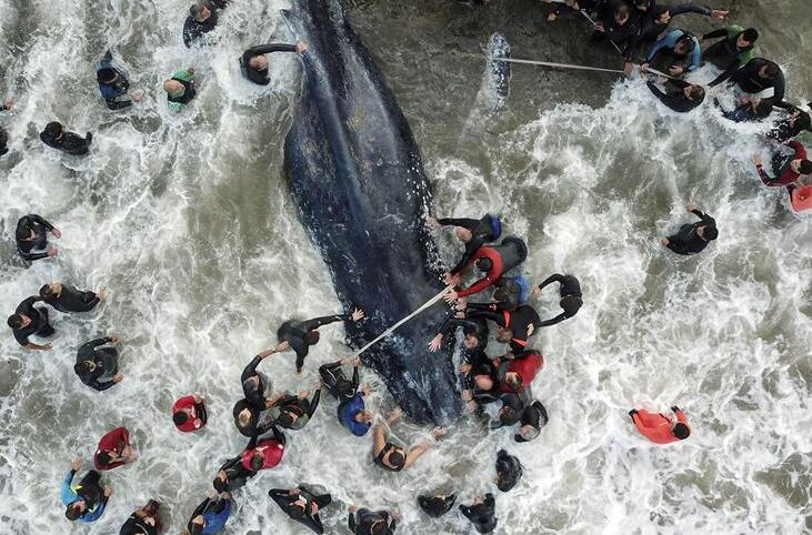 Intentan devolver al mar a ballena encallada en Argentina