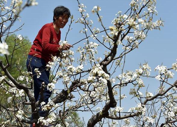 Una granjera poliniza flores de pera en un huerto de peras en Shanxi