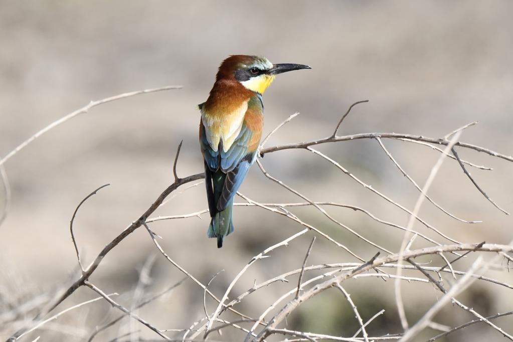 Aves en la Gobernación de Jahra, Kuwait