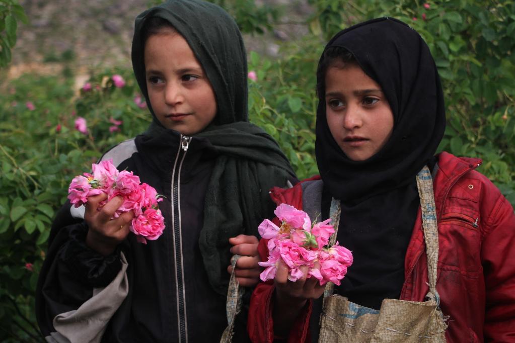 Cosechan pétalos de rosa en jardín de rosas en Afganistán