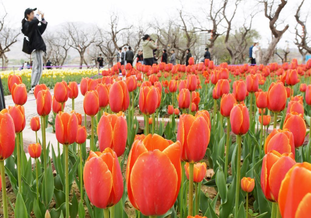 Flores de tulipanes florecen en Yongjing, Gansu