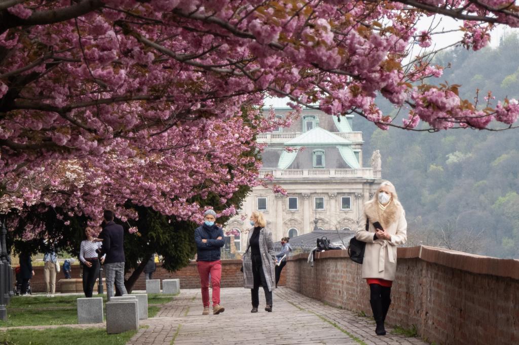 Flores de cerezo en Castillo de Buda en Budapest, Hungría